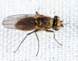 Ephydrinae