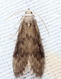5633.1 - Aphomia fulminalis