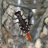 Eastern Red-bellied Tiger Beetle - Cicindelidia rufiventris hentzii