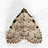 8992 - Three-spotted Nola - Nola triquetrana