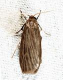 8045.1 - Pale Lichen Moth - Crambidia pallida