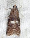 5773 - Engel's Salebriaria - Salebriaria engeli