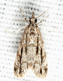 4738 – Striped Eudonia – Eudonia strigalis