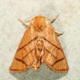 4667 – Yellow-collared Slug Moth – Apoda y-inversum