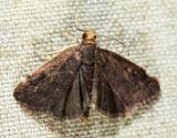 5117 - Merrick's Crambid - Loxostegopsis merrickalis