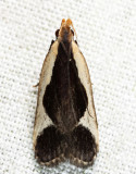 2295 - Cream-bordered Dichomeris - Dichomeris flavocostella