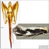 0416 - Skunkback Monopis - Monopis dorsistrigella
