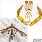 Geina sp. (tenuidactylus or buscki)