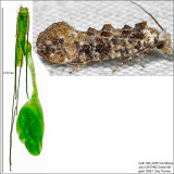 0317 - Clemens' Bark Moth - Xylesthia pruniramiella