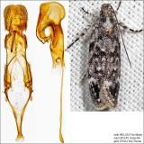 Gelechiidae Moths Identified with Genitalia Picutres (1681-2311)