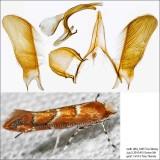 0808 - Cameraria australisella