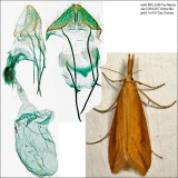 Pyralidae Moths Identified with Genitalia Pictures 4703-6075