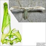 Hellinsia sp.