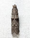 2415.1 - Wockia asperipunctella 7-16