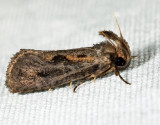 0373 - Clemens' Grass Tubeworm Moth - Acrolophus popeanella