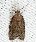 8974 - Black-olive Caterpillar Moth - Garella nilotica 7-21