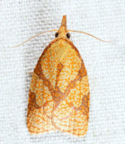 3720 - Reticulated Fruitworm Moth - Cenopis reticulatana