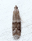 6032 - Eurythmia angulella