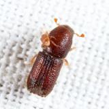 Orthotomicus caelatus