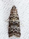 5843 - Spruce Coneworm - Dioryctria reniculelloides