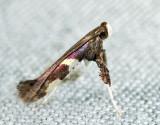 0642 - Caloptilia umbratella
