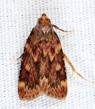 5518 - Grease Moth - Aglossa cuprina