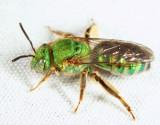 Silky Striped-Sweat bee - Agapostemon sericeus