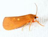 Virbia sp.