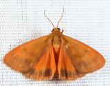 8121 - Orange Virbia - Virbia aurantiaca