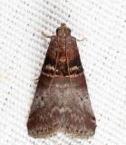 5670 - Acrobasis aurorella