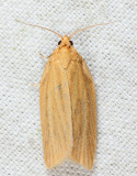 3684 - Clemens' Clepsis Moth - Clepsis clemensiana