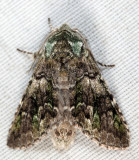 7975 - Mottled Prominent - Macrurocampa marthesia