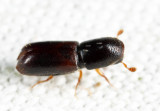 American Utilizable Wood Bark Beetle - Gnathotrichus materiarius