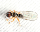 Big-headed Fly - Pipunculidae