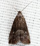 Hypenodes sp. 8-7