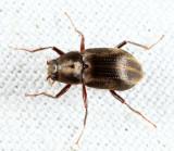 Long-toed Water Beetles - Dryopidae