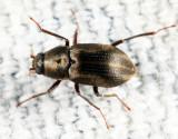 Helichus lithophilus