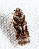 Catonia cinctifrons