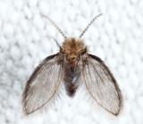 Mothflies - Psychodidae