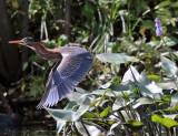 Herons Egrets & Allies