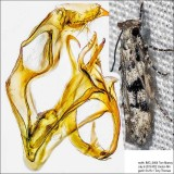 1792 – Coleotechnites atrupictella