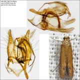 0144 – Oak Blotch Miner Moth – Tischeria quercitella