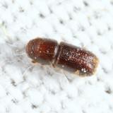 Pityophthorus crinalis