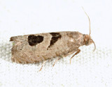 2936 - Aster-head Eucosma - Eucosma tomonana