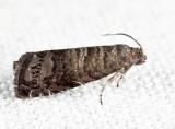 3426 - Oriental Fruit Moth - Grapholita molesta