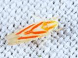 Erythridula sp.