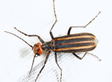 Striped Blister Beetle - Epicauta vittata