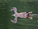 Wood Duck - Aix sponsa (immature)