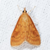 4947 - Smartweed Borer - Ostrinia obumbratalis