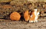 Nidularia pulvinata (Birds Nest Fungi)